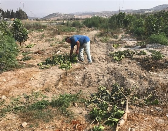 Israeli forces uproot dozens of fruit trees in northern West Bank