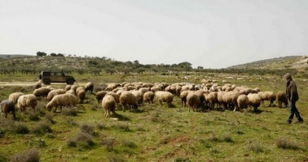 Israeli settlers steal dozens of sheep south of Nablus
