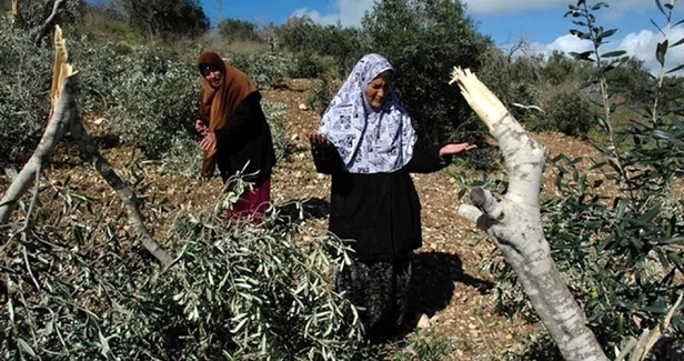 Settlers destroy Palestinian grape and olive trees south of Bethlehem