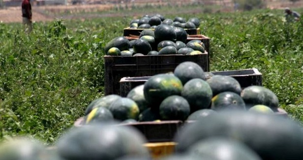 Gaza watermelon: High quality and self-sufficiency