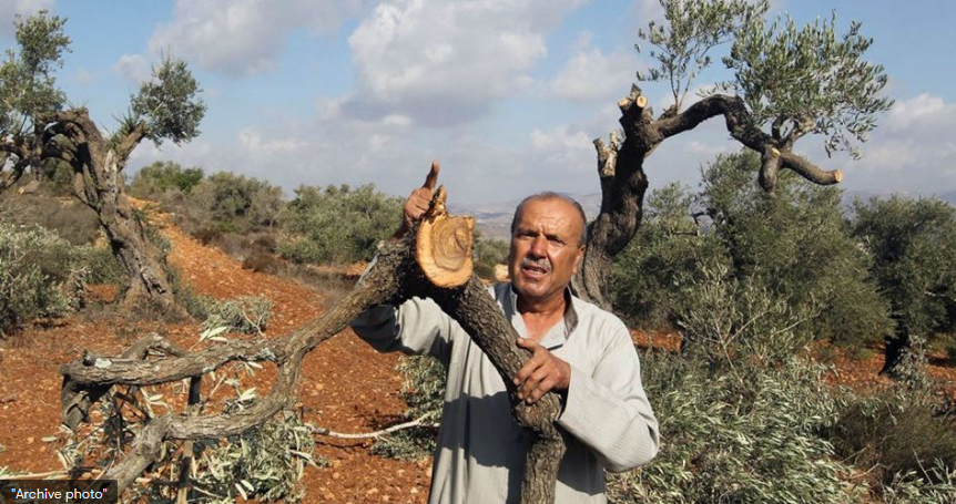 Settlers destroy 120 olive trees in W. Bank town of Kafr ad-Dik