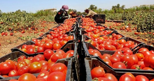 Tomatoes export from besieged Gaza to be suspended over price leap