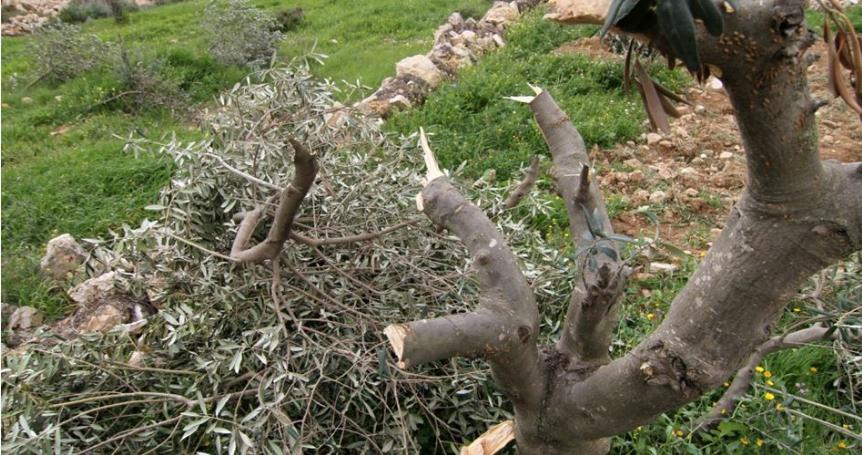 Settlers uproot olive seedlings east of Bethlehem