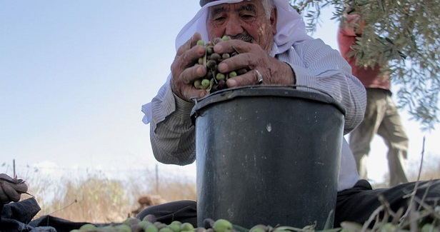 Early olive picking in the occupied West Bank: Big losses