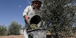 Gazans challenge occupation by planting olive trees
