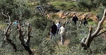 مستوطنون يقطعون (80) شجرة زيتون شمال رام الله